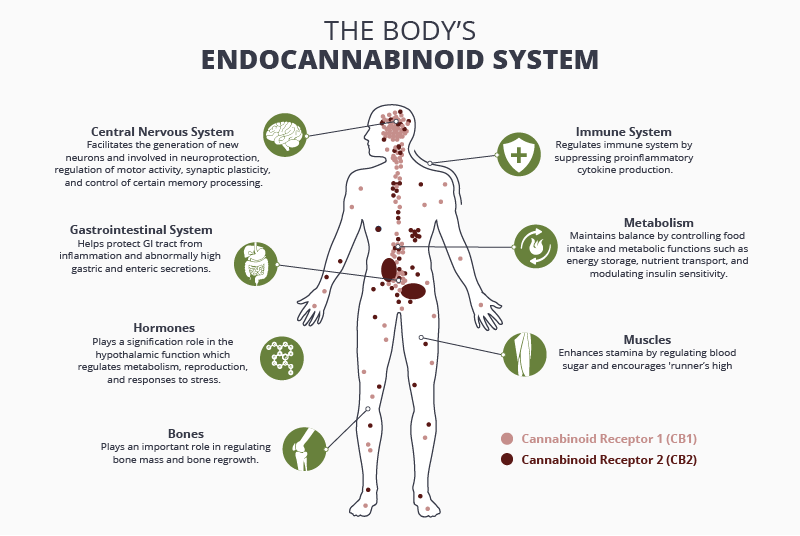 The endocannabinoid system and how it works, benefits of THC and CBD